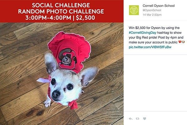 Chihuahua in Cornell apparel