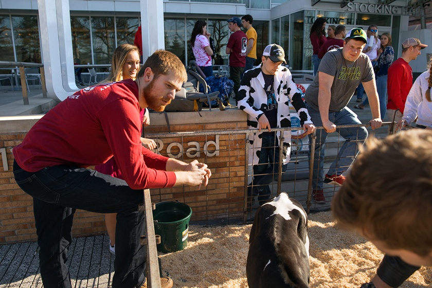 Conor McCabe '18 takes part in Dairy Day, a free event held twice a year by the Cornell University Dairy Science Club.