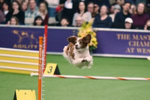 Libby at the 2018 Masters Agility Championship at Westminster