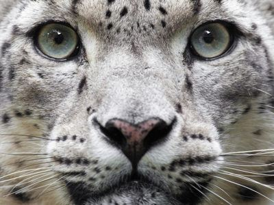 Snow leopard face up close