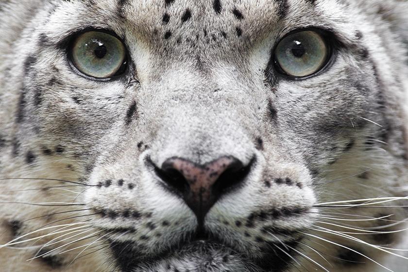Snow leopard face up close
