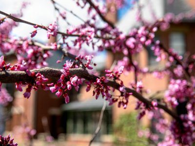 A redbud tree glows in the A.D. White House garden.