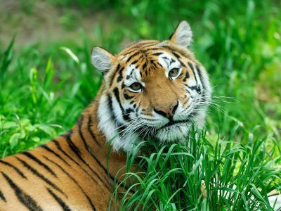 Amur Tigers on grass in summer day